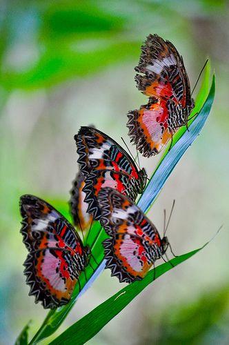 Butterflies by docjabagat, via Flickr