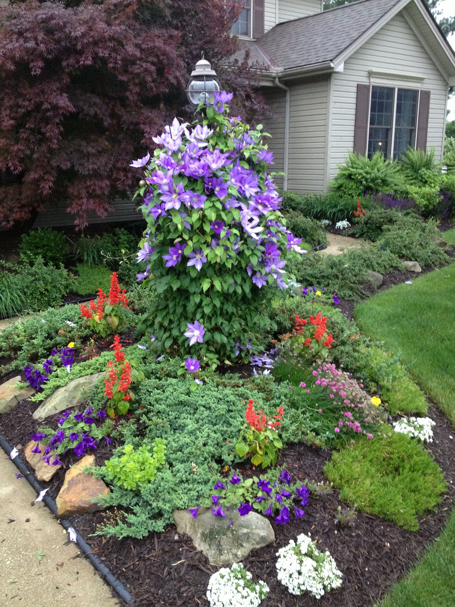 Purple Clematis Burst Brunswick Ohiopurple