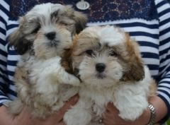 Beautiful Shichon Babies Ready Now Puppies For Sale Shih Tzu