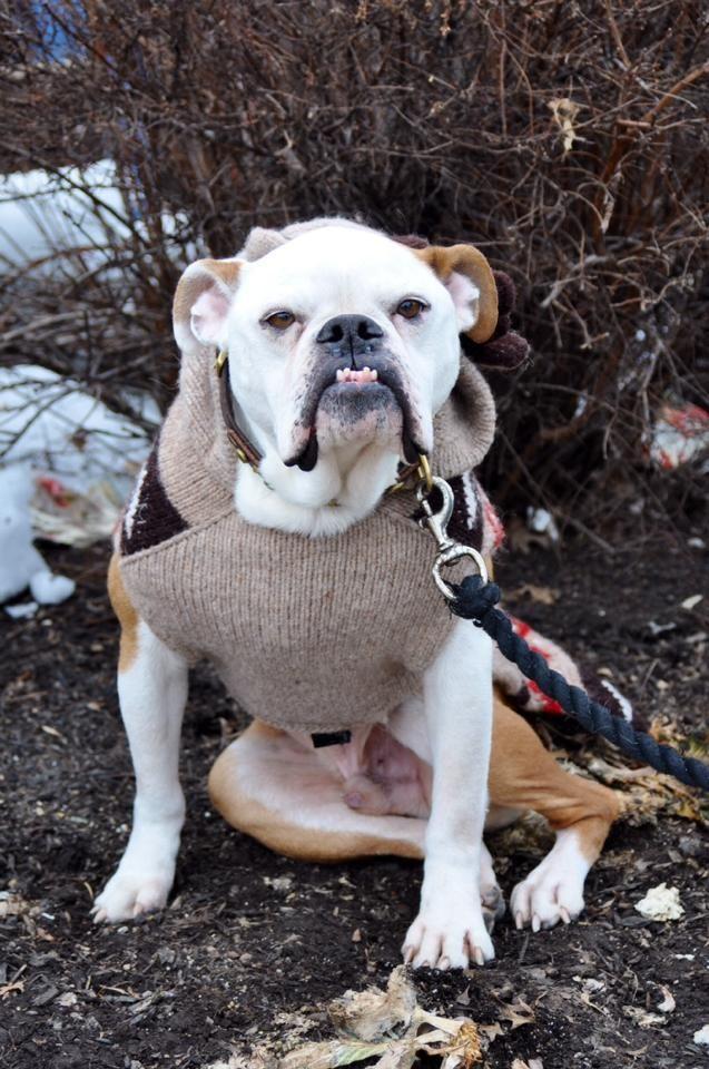 Adopt Mr Belvedere on English bulldog dog, Dog adoption