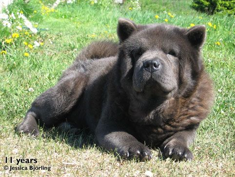 Nickelodeons Knock On Wood Nocky Blue Rough Haired Chow Chow Male
