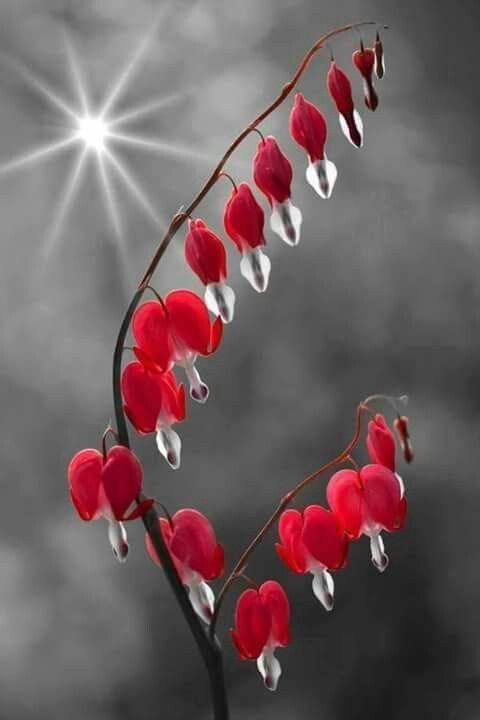 Pin By Joyce Kolb On Red Bleeding Heart Bleeding Heart Flower Beautiful Gif