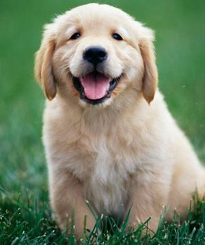 Is Your Dog Smarter Than A Five Year Old Dog Lovers Retriever