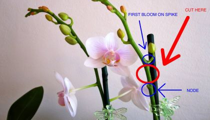 77d8cb894a8da544faedbef9c40303bc - How Do I Get My Phalaenopsis Orchid To Rebloom