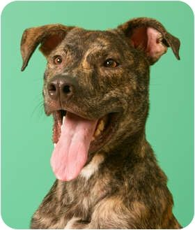 Greyhound Retriever Mix Brindle Grey Hound Dog Dogs Greyhound