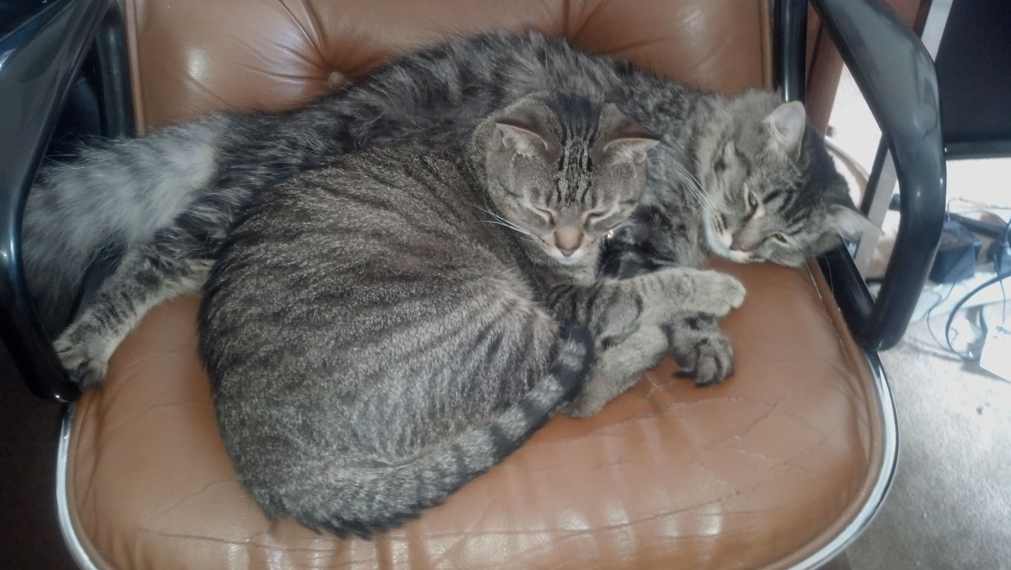 Two of our adopted kitties in their FOREVER home! Chester