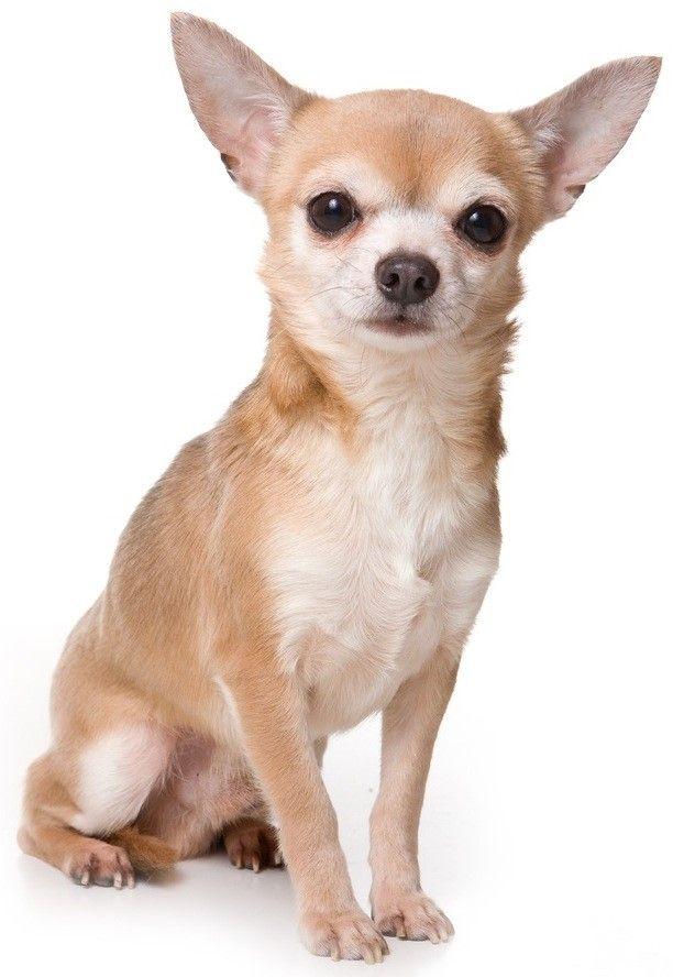Chihuahua Dog Breed Chihuahua Puppies Chihuahua