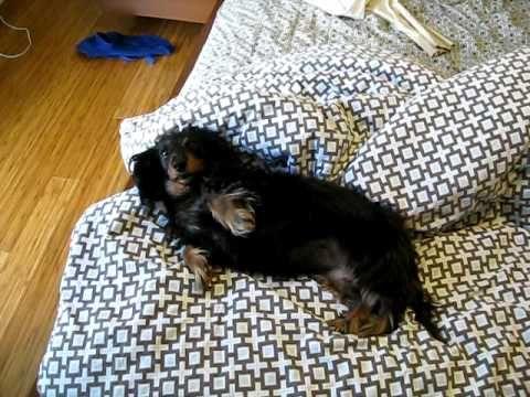 Dauschund Black Smalldogs Adorable Cuddles Tummy Adorable