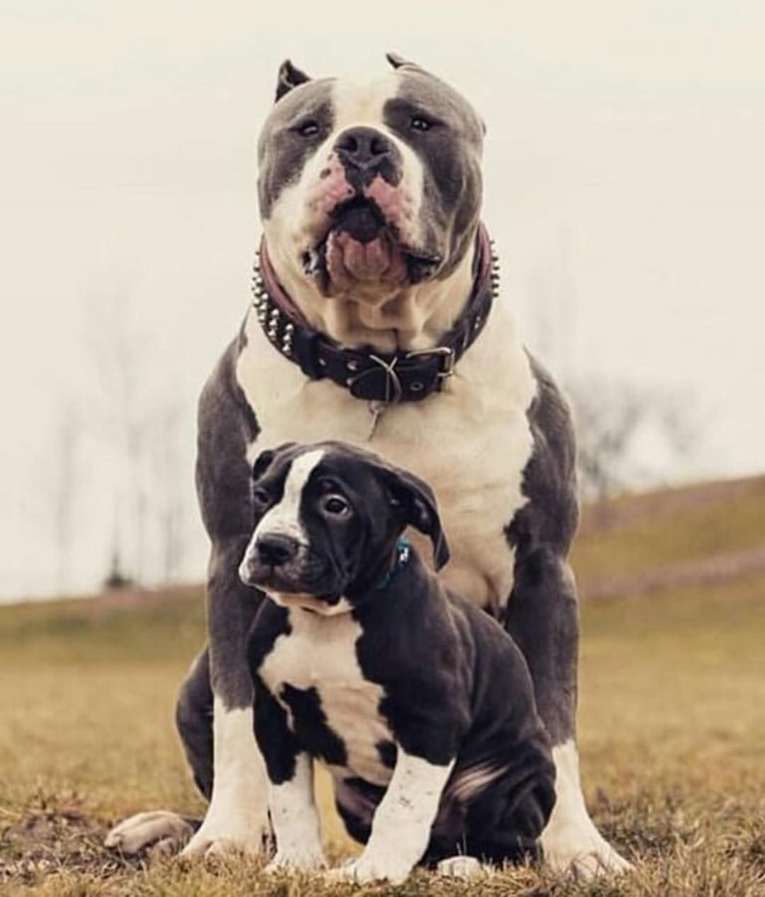 American Bully Xl On Instagram Father S Love Is Deeper Than