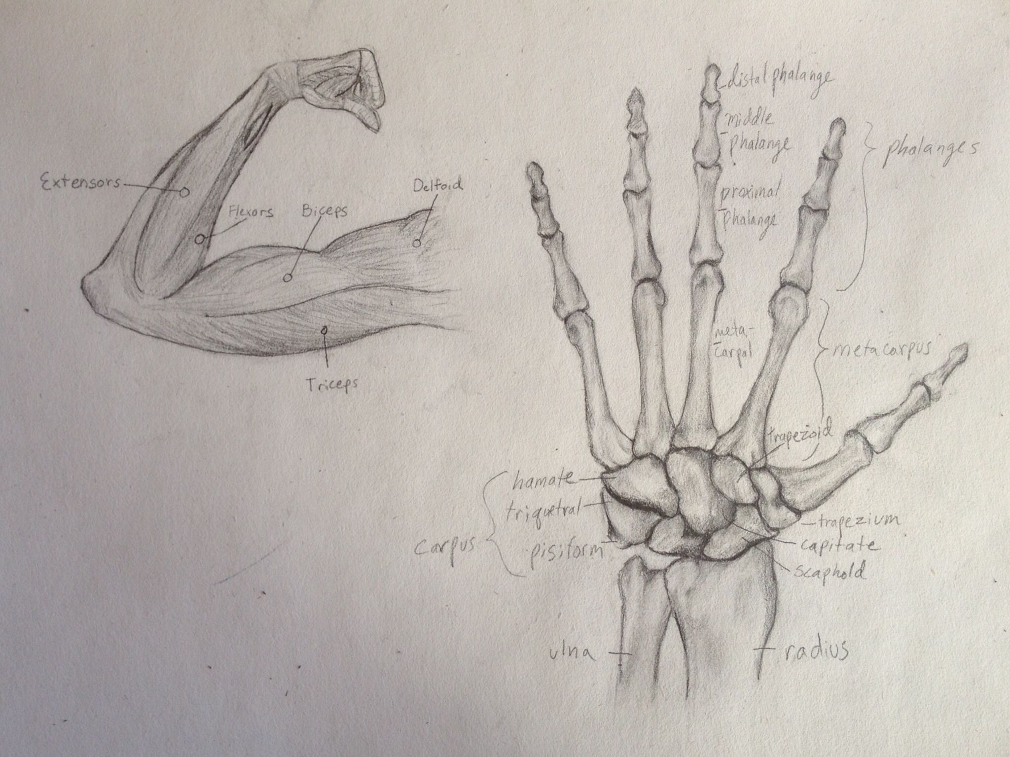Arm muscle and hand bones anatomy pencil drawing reference | My Art ...