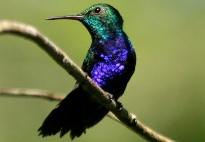 Download Suara Kolibri Gacor Juara Mp3 Untuk Masteran Lengkap Suaraburung Xyz Bird Species Hummingbird Birds
