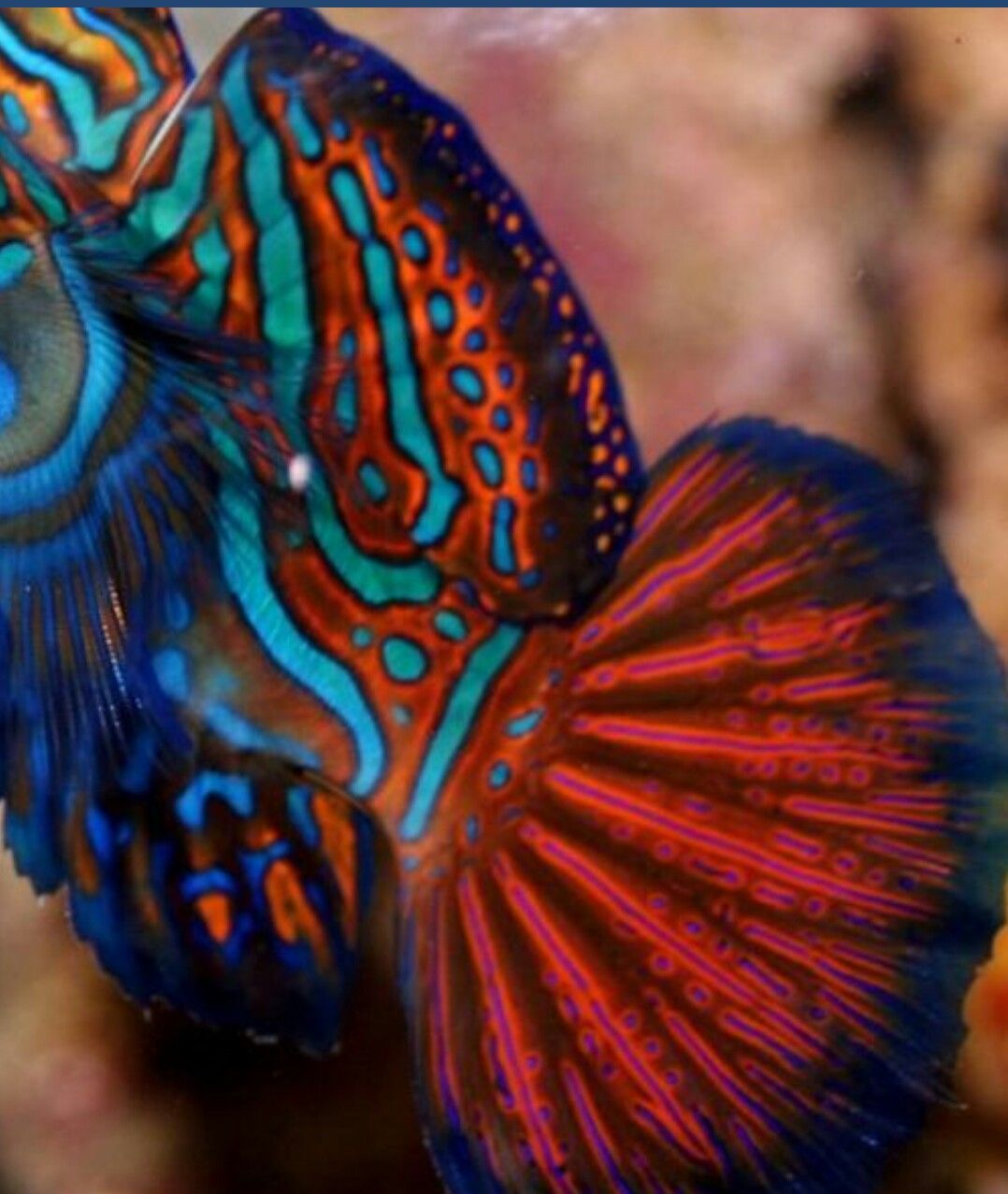 Pin by Ana Lucia on Mandarin fish | Pinterest | Mandarin fish