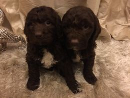 Stunning F1 Pra Clear Puppies 2 Girls One Black One Chocolate 3 Boys 1 Black 2 Chocolate All Thick Curly Coats All Brought Up In Our Famil Puppies Cavapoo Dogs