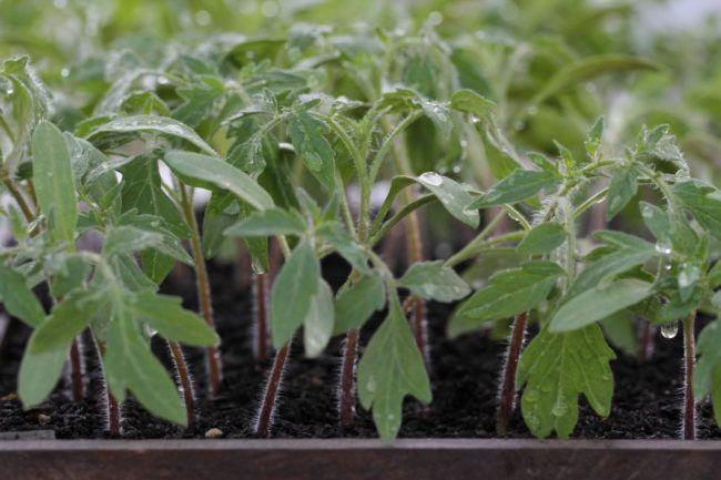 чем подкормить рассаду помидор для роста