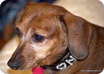 Spokane Wa Dachshund Meet Nikki Charming 150 Fee A Dog For