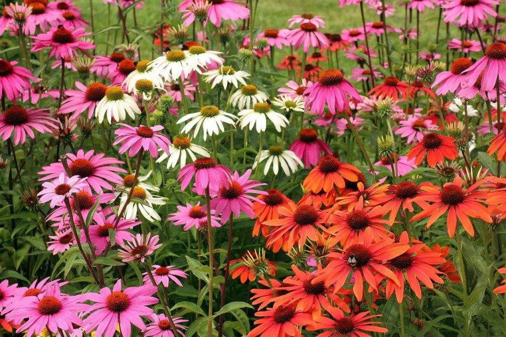A Really Easy Way To Get New Coneflower Plants Long Blooming Perennials Butterfly Garden Plants Flowers Perennials