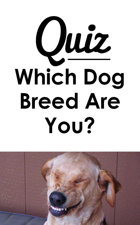Quiz Which Dog Breed Are You Dog Quizzes Dog Breeds Dogs