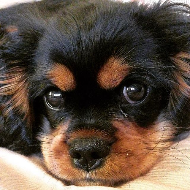 cde99ea36da Cavalier King Charles Spaniel A gorgeous Black and Tan! Beautiful coloring  ( love those brown eyebrows)