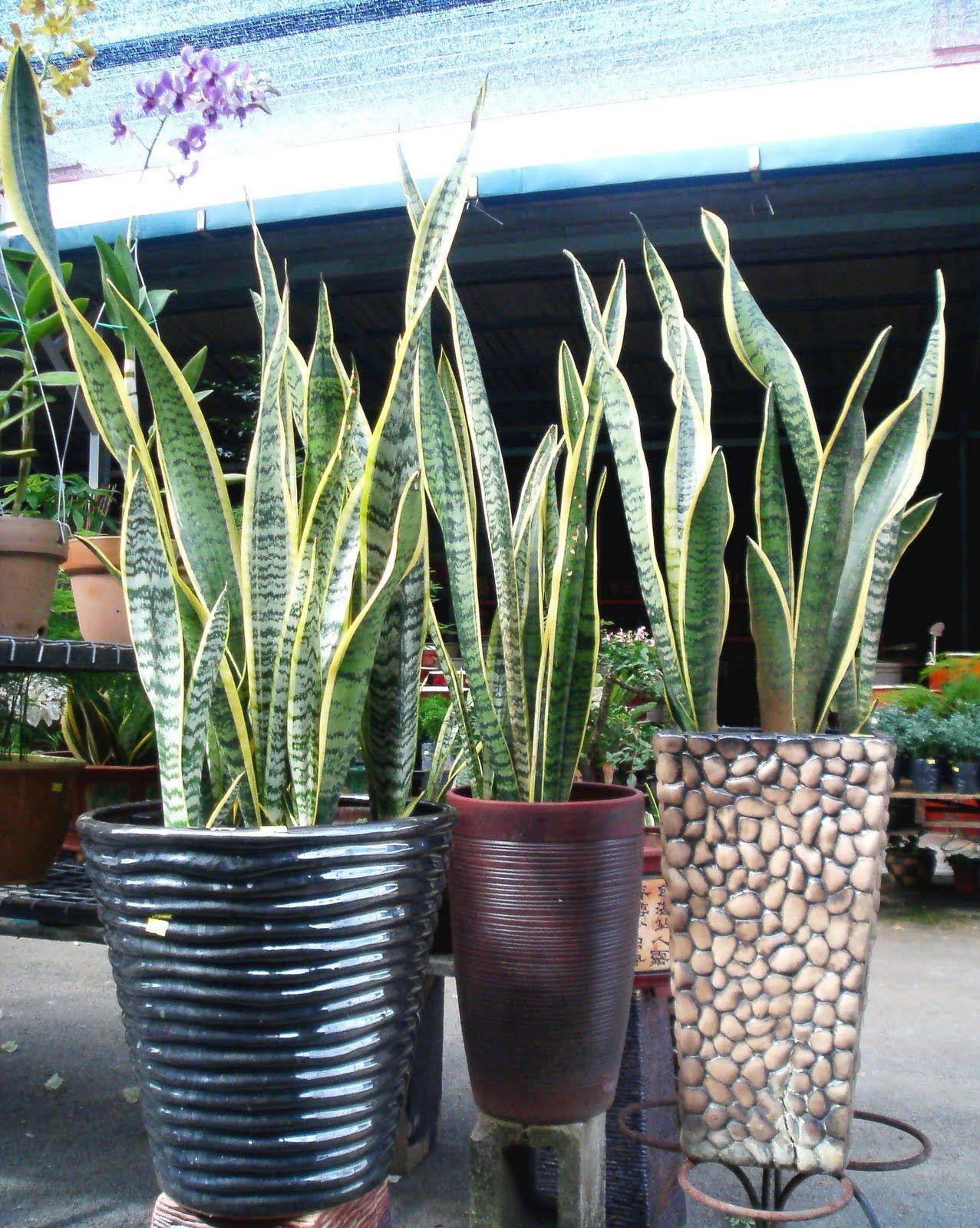 Sanseviera Trifasciata Laurentii Snake Plant Green Thumb