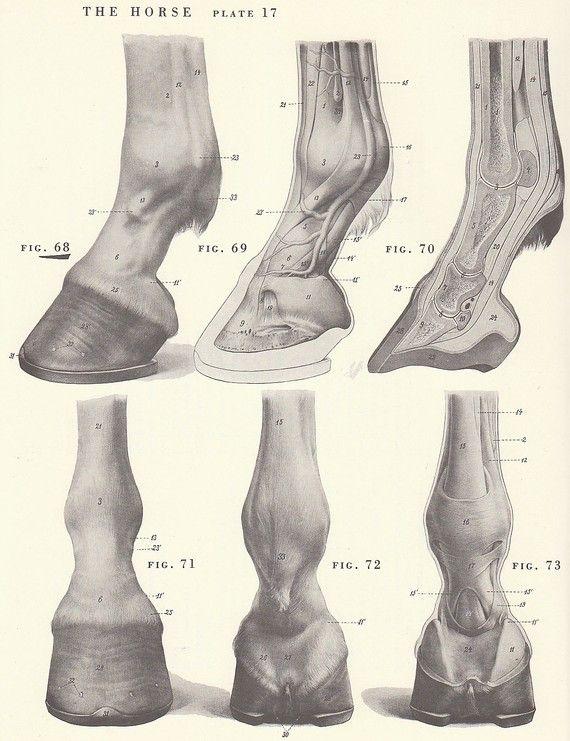Vintage Horse Hoof Anatomy Illustration Book Page | The Hoof ...