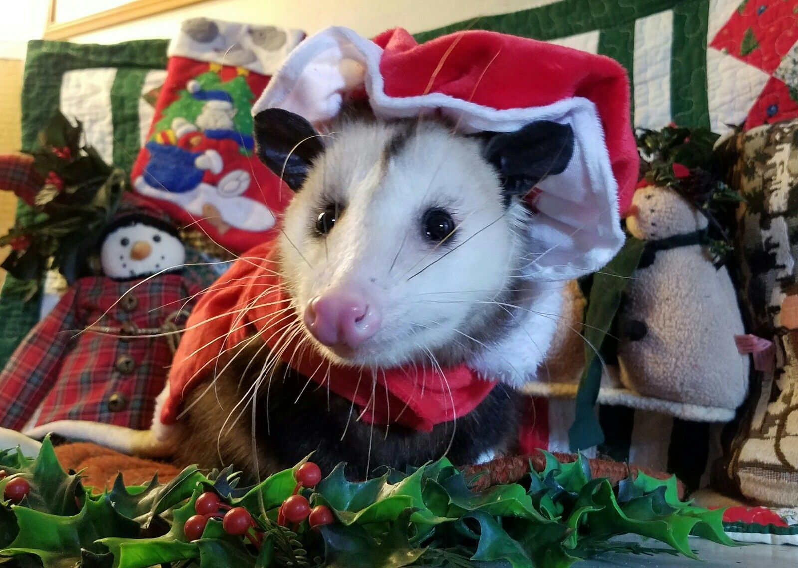 Merry Christmas from my sweet possum girl Ms. Penny | ANIMALS ...