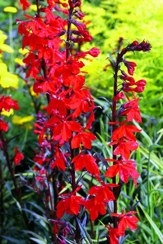 Najpiekniejsze Rosliny We Wrzesniu Lobelia Mieszancowa Bee S Flame Beautiful Rose Flowers Beautiful Roses Garden