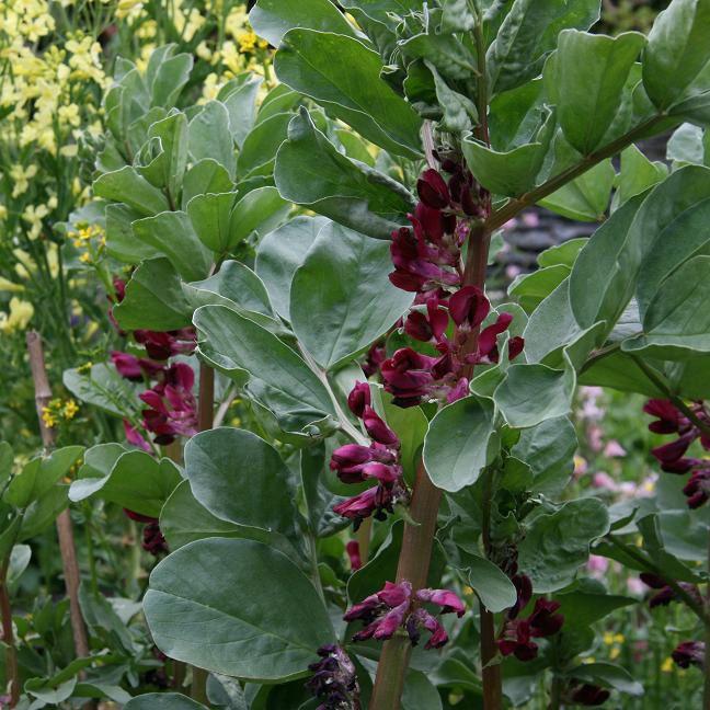 Broad Bean Crimson Flowered Google Search Broad Bean 400 x 300