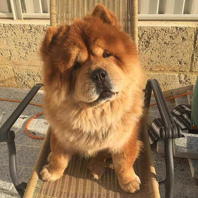 Meet The Pups Who Ve Mastered The Head Tilt Pup Chow Chow Dogs