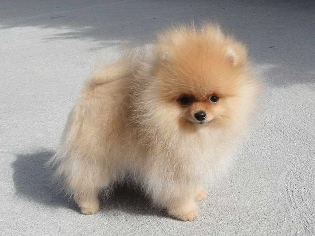 Cheap Pomeranian Puppies For Sale Near Me (With images