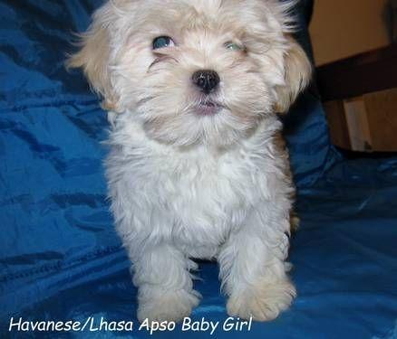 D 651 Havapso Puppy Puppies Designer Dogs Lhasa Apso