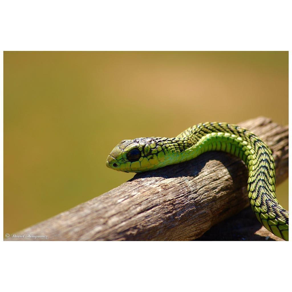 . #wildlife #wildlifephotography #wildeyesa #africa #afrika #africanamazing #southafrica #shamwari #nature #reptile #snake #boomslang #travel #safari #conservation #canon #canonphotography by dan_koop08 @enthuseafrika