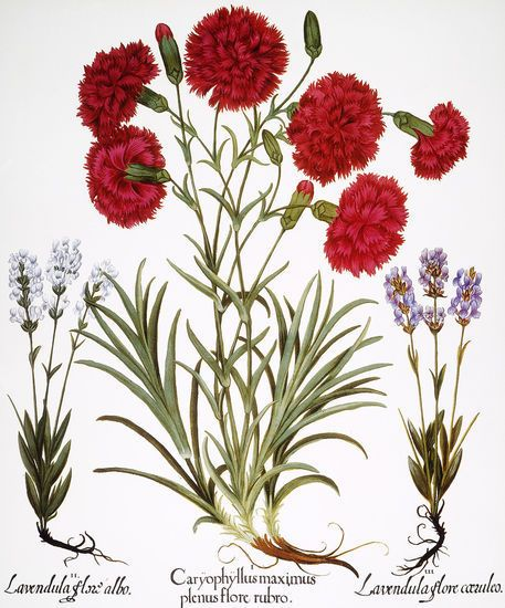Carnation Lavender Reminds Me To Use Flowers That Mean Something To Me In My Garden In Botanical Prints In Botanical Wall Art Flower Art Flower Drawing