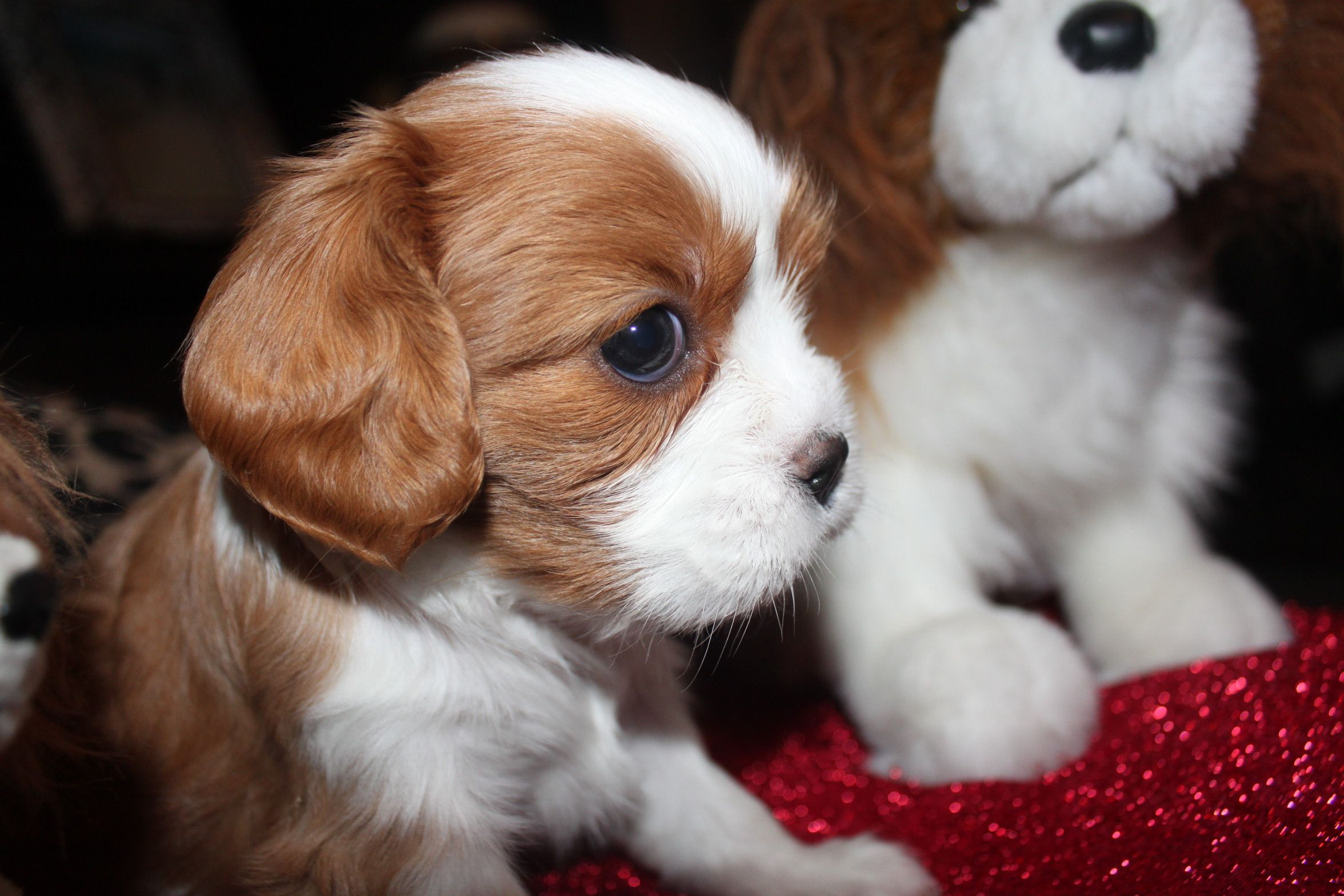 Cavalier King Charles Spaniel Puppies Cavalier King Charles