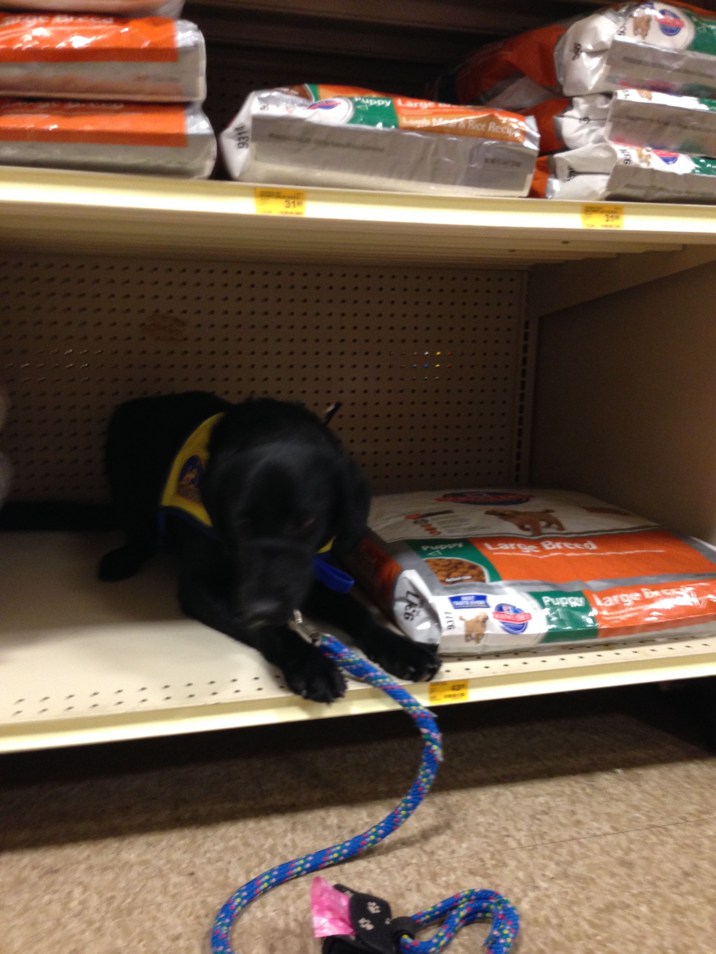 "This is a nice example of ""under"" with food distractions. Here, we are at PetSmart and Chica demonstrates ""under"" on a low shelf used to store food bags."