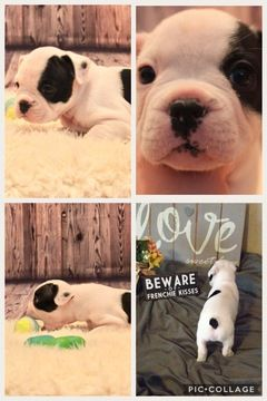 Litter Of 4 French Bulldog Puppies For Sale In Billings Mt Adn