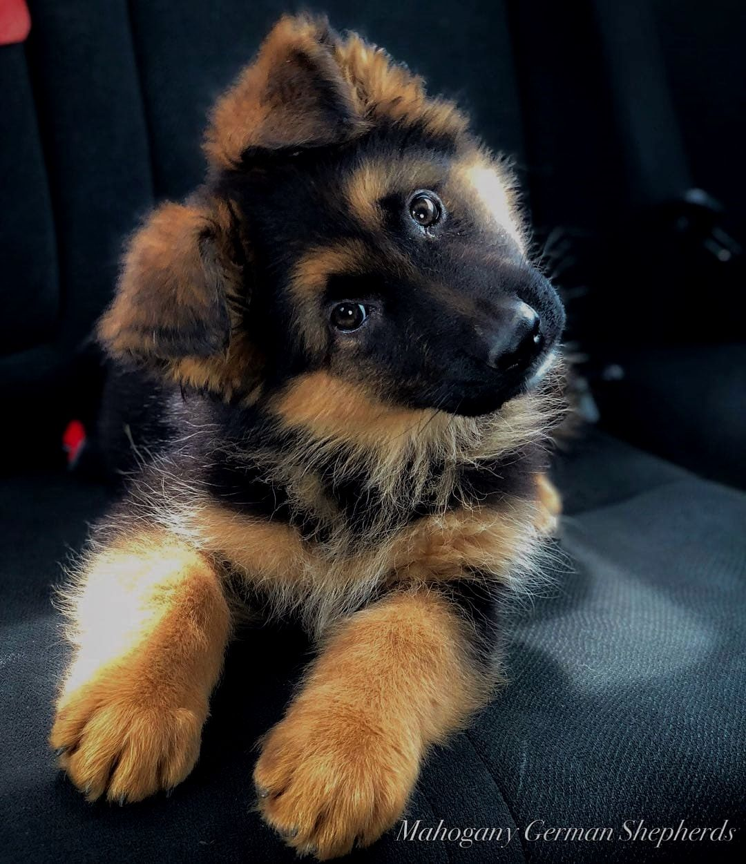 Adorable German Shepherd Puppy. On StandBy Pics Board