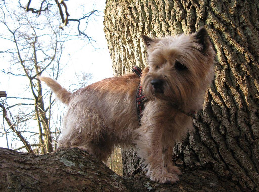 Caesar In The Tree Ct Terrier Dogs Fox Terrier Cairn Terrier