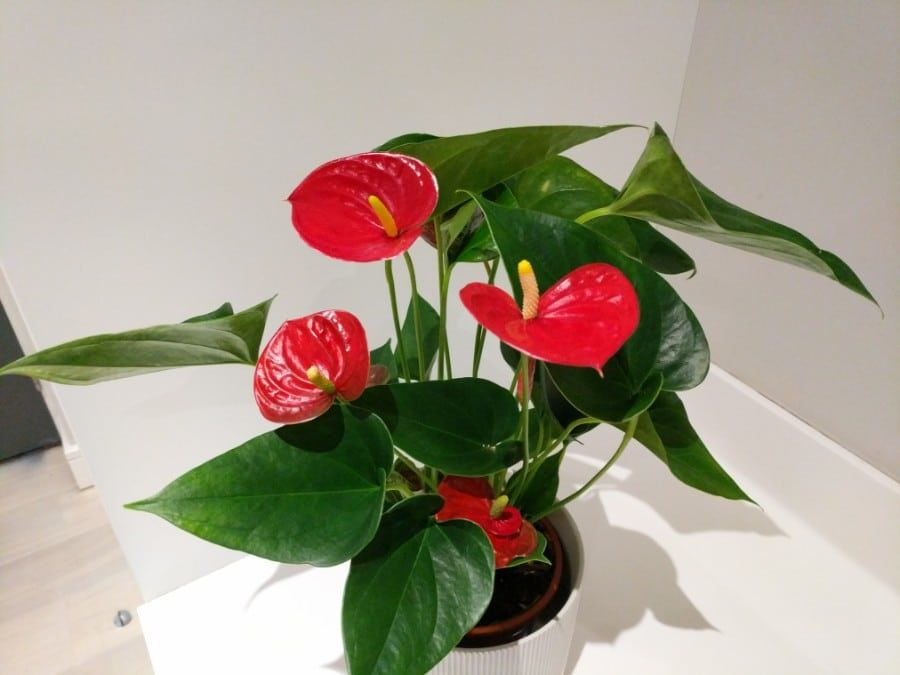 How To Care For Anthurium Flamingo Flower Small Indoor Plants Plant Care Houseplant Flamingo Flower