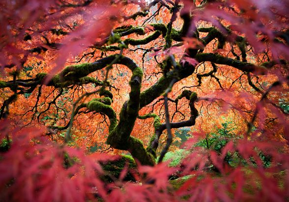 Japanese Maple by Fred An