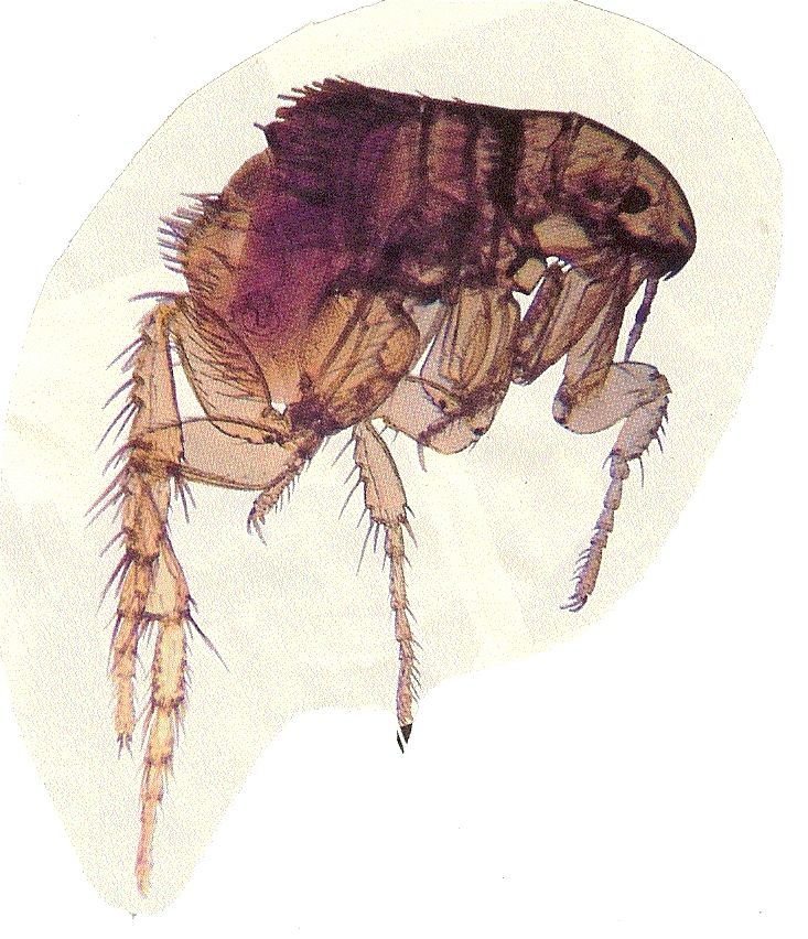 fleas lice difference photo Fleas, Human pictures, Flea