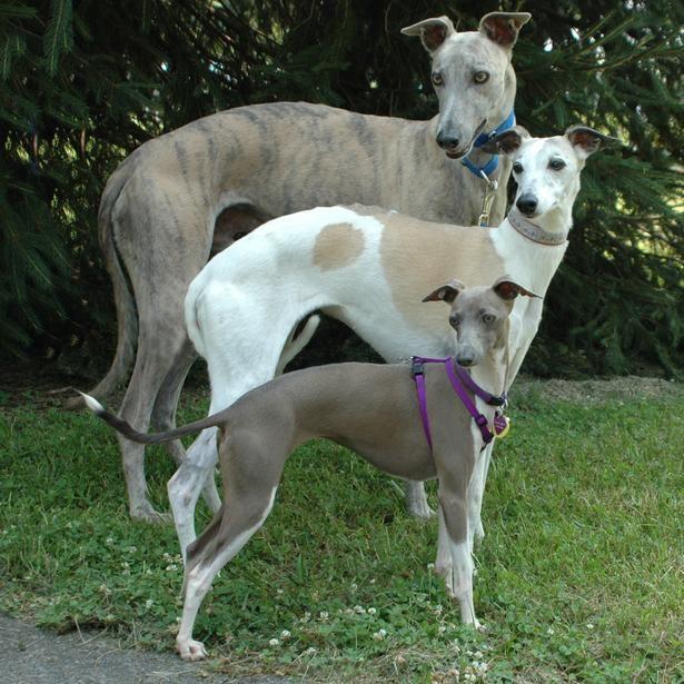3 Breeds Grey Hound Dog Whippet Whippet Dog