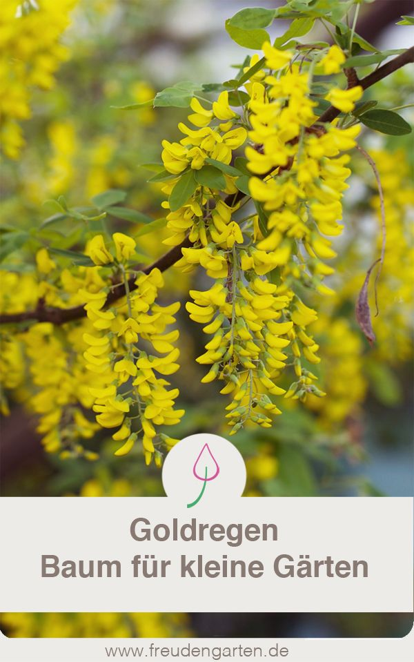 Goldregen Laburnum Pflanzen Schneiden Standort Garten Pflanzen Garten Ideen