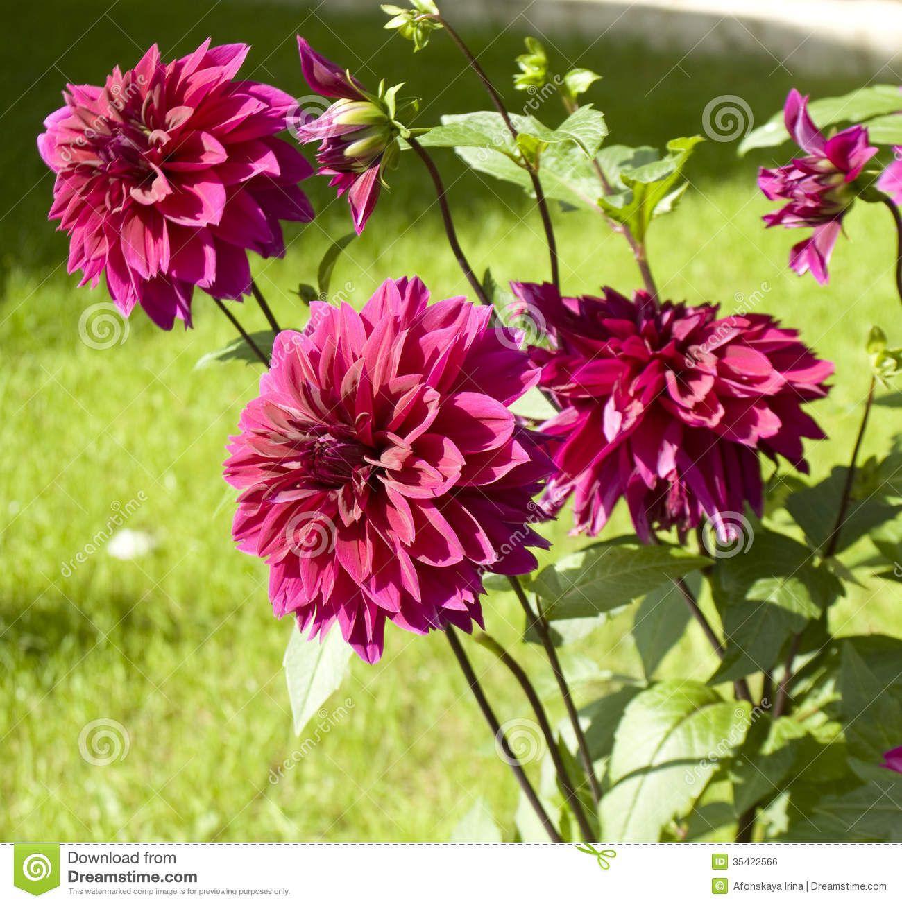 Rsultat De Recherche Dimages Pour Dahlia Flower Colors