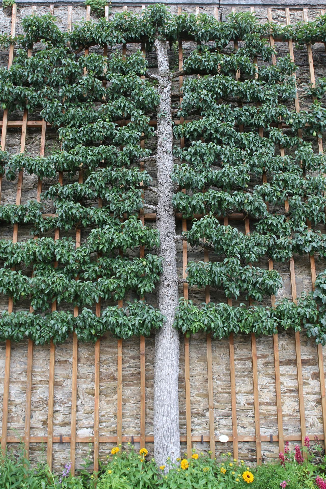This Amazing Espaliered Pear Tree Makes Harvest A Lot Easier