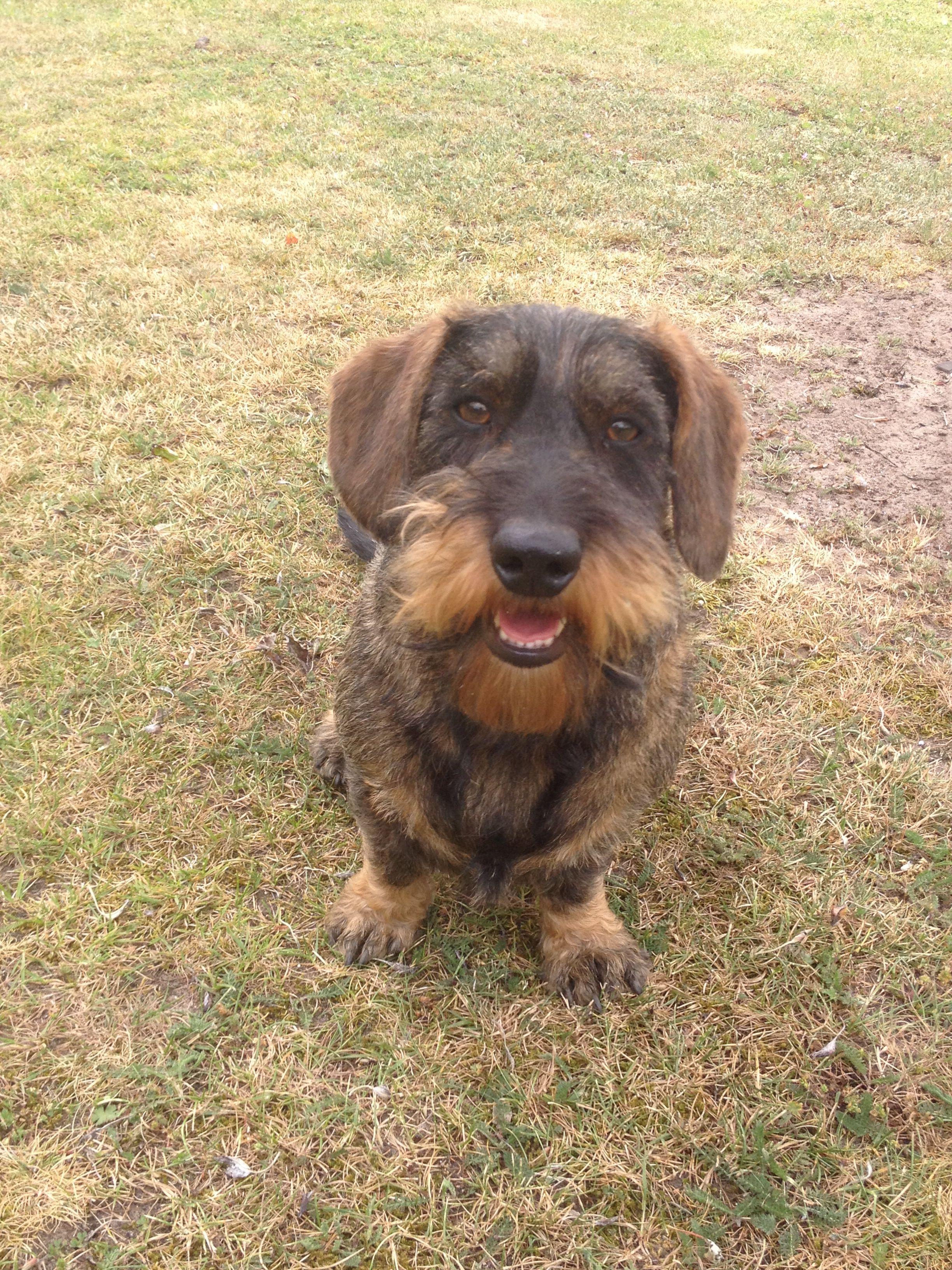 Nelson Ruwharige Teckel Lisametten Wire Haired Dachshund Dogs