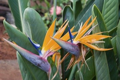 What Are The Different Types Of Bird Of Paradise Plants Birds Of Paradise Plant Paradise Plant Birds Of Paradise Flower