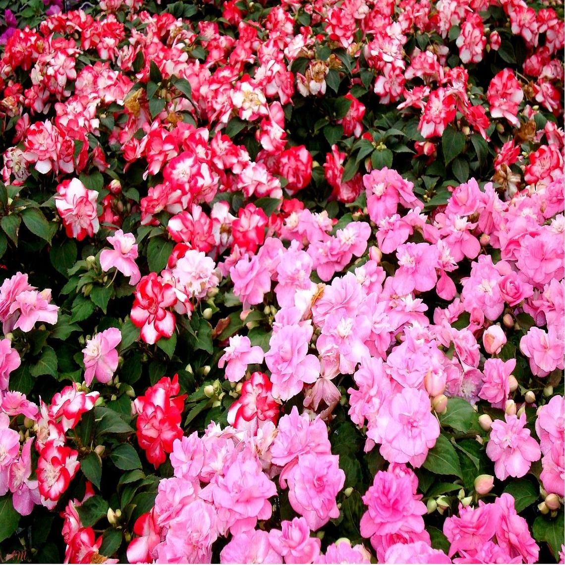 Pink and Red Impatiens