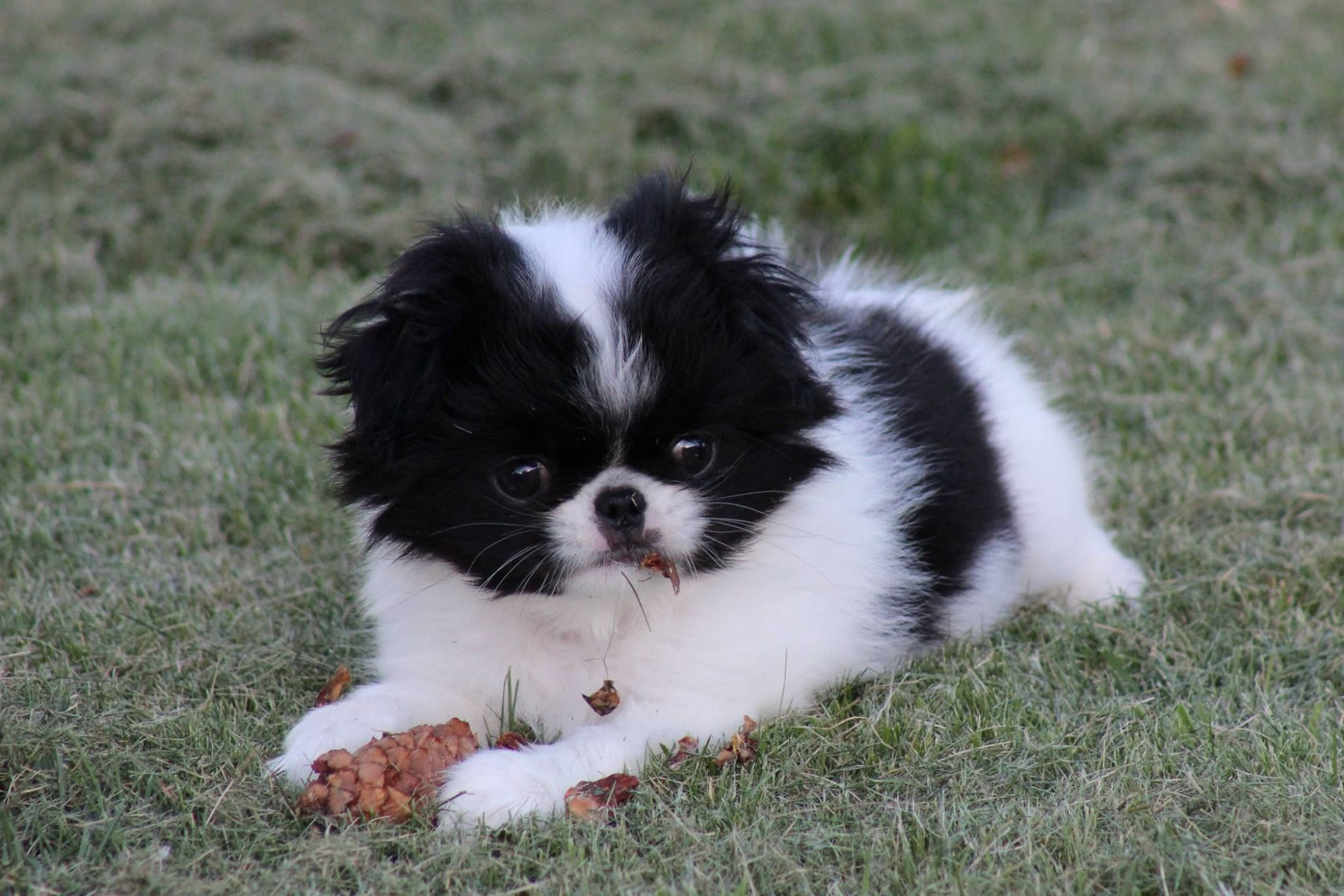 Japanese chin puppies for sale from Kennel Spindulys (With