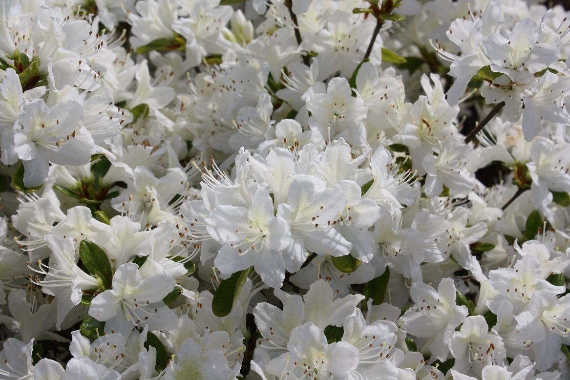 Nothing But White Flowers This Is The Japanese Azalea
