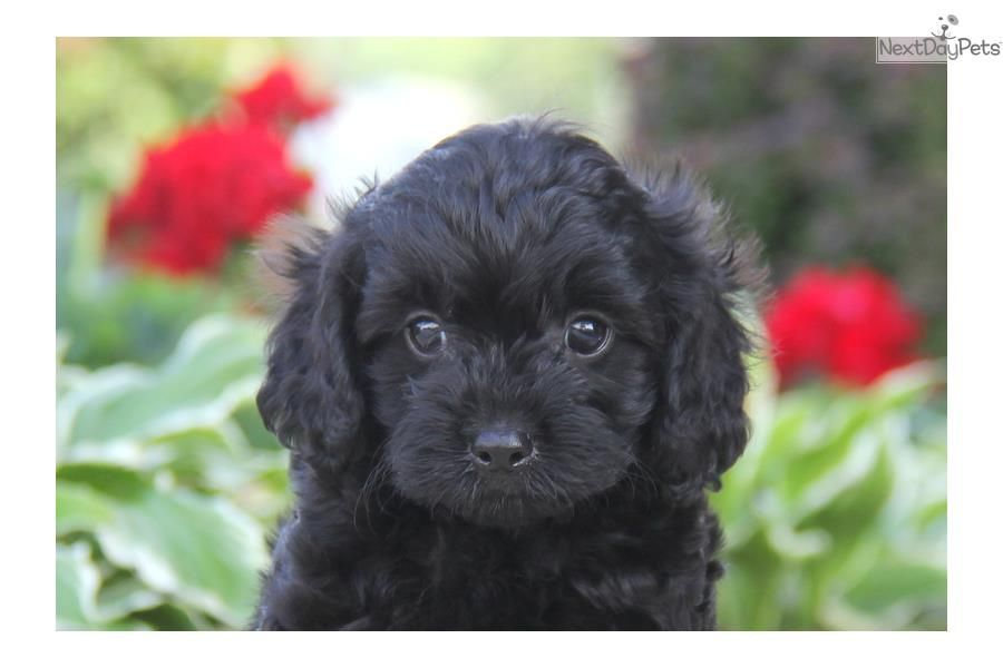 Meet Cooper A Cute Cavapoo Puppy For Sale For 950 Cooper
